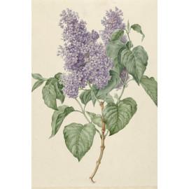 Tak met paarse seringen - Maria Geertruida Barbiers-Snabilié  1786 - 1838 (5010.2040)