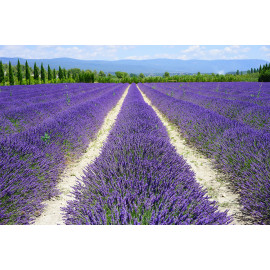 Lavender field (5020.1015)