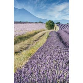 Lavendel veld (5020.1019)
