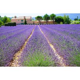 Lavendel (5020.1020)