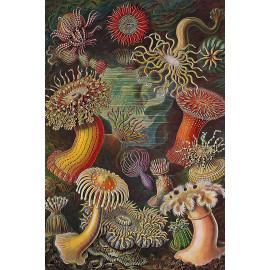 Ernst Haeckel - Actiniaria - Zeeanemonen (5010.4001)