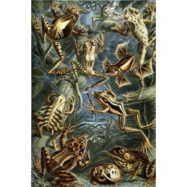Ernst Haeckel - Batrachia - Kikkers (5010.4002)