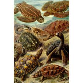 Ernst Haeckel - Chelonia - Zeeschildpadden (5010.4003)