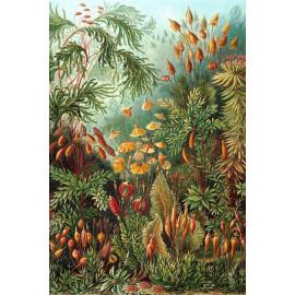 Ernst Haeckel - Muscinae - mosplanten (5010.4005)