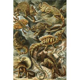 Ernst Haeckel - Lacertilla - Hagedis (5010.4006)