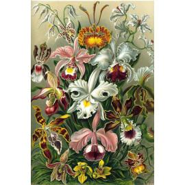 Ernst Haeckel - Orchidae - Orchidee (5010.4008)