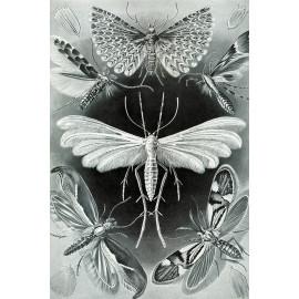 Ernst Haeckel - Tineidae - Vlinders en Motten (5010.4010)