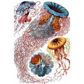 Ernst Haeckel - Discomedusae - Kwallen (5010.4011)
