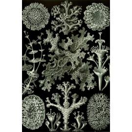 Ernst Haeckel - Lichenes - Algen (5010.4012)