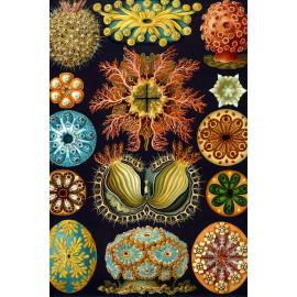 Ernst Haeckel - Ascidiae - Zeedieren (5010.4014)
