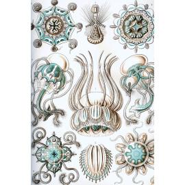 Ernst Haeckel - Narcomedusae - Kwal (5010.4015)