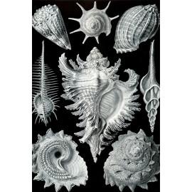 Ernst Haeckel - Prosobranchia - Schelpen (5010.4016)