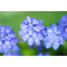 Wanddecoratie © Saskia Llop - Natuur - Bloem - Blauwe Druif (6211.1357)