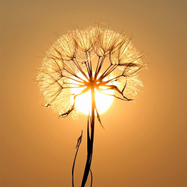 Silhouette of dandelion during golden hour (5025.1042)