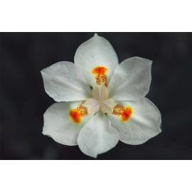 Narcis (5025.1049)