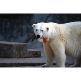 Wanddecoratie © Ron Entius - ijsbeer met bloem (6217.1025)