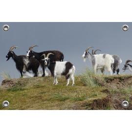 Tuinposter © Brenda Boom - Wilde geiten op Terschelling (6218.0599)