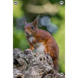 Tuinposter © Dini Liefferink - Rode eekhoorn op de uitkijk (6219.1013)