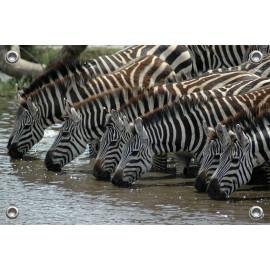 Tuinposter © Bert Huizinga - Drinkende Zebra's (6213.1030)